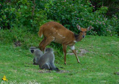 Bushbuck and vervet monkeys